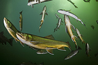 Austria, Styria, Grueblsee, brook trouts and rainbow trouts - ZCF000189