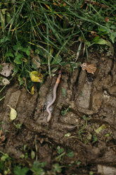 Earthworm creeping on wet soil - DWF000200