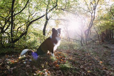 Border Collie sitting on forest soil at backlight - DWF000206