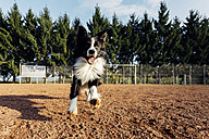 Running Border Collie - DWF000207