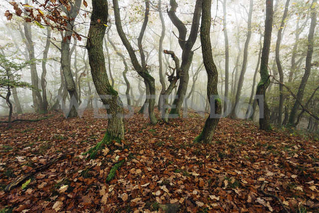 Germany, Rhineland-Palatinate, Boppard-Weiler, autumnal forest in the fog - DWF000212 - Frederik Franz/Westend61