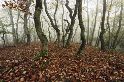Germany, Rhineland-Palatinate, Boppard-Weiler, autumnal forest in the fog - DWF000212
