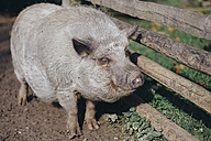 Portrait of domestic pig - DWF000214