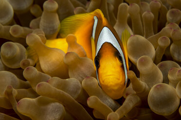 Egypt, Red Sea, Red Sea anemonefish, Amphiprion bicinctus, between coral - YRF000066