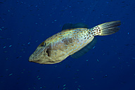 Egypt, Red Sea, Scribbled leatherjacket, Aluterus scriptus, in front of dark blue background - YRF000070