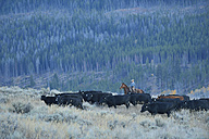 USA, Wyoming, Big Horn Mountains, cowgirl herding cattles in open range - RUE001343