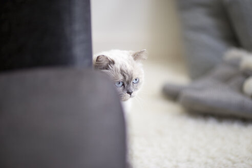 Longhair cat hiding behind a couch - NNF000067