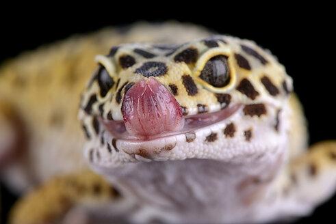 Portrait of leopard gecko, Eublepharis macularius - MJOF000912