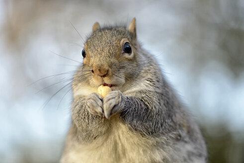 Portrait of grey squirrel, Sciurus carolinensis - MJOF000913