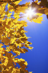 Yellow autumn foliage in front of blue sky - SMAF000284