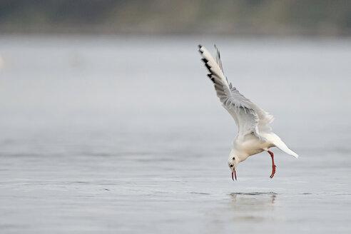 Germany, Schleswig-Holstein, Seagull, Laridae - HACF000210