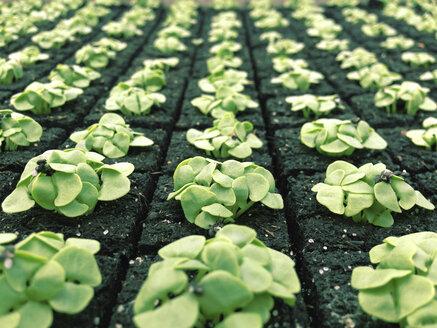 Switzerland, Thurgau, Young basil seedlings - JEDF000208
