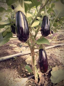 Greenhouse, Eggplants - JEDF000223