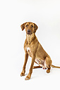 Rhodesian Ridgeback in front of white background - MJF001464