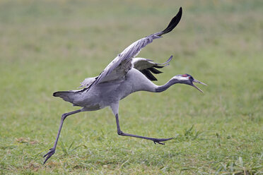 Running crane with spread wings - HACF000219