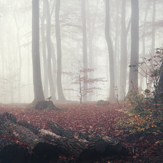 Germany, autumn forest in the fog - DWIF000364