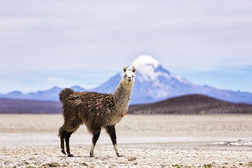 Chile, Lama, Lama glama, standing in the Atacama Desert - STSF000671