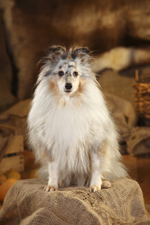 Portrait of Shetland Sheepdog sitting in a barn - HTF000575