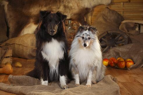 Two Shetland Sheepdogs sitting side by side in a barn - HTF000577