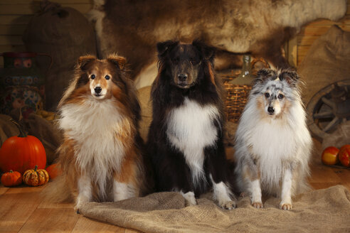 Three Shetland Sheepdogs sitting side by side in a barn - HTF000578