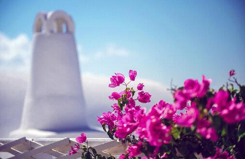 Greece, Cyclades, Santorini, Oia, blossoming Bougainvillea, Bougainvillea spectabilis and white chimney - EH000018