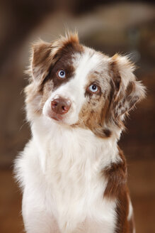 Portrait of red-merle Miniature Australian Shepherd - HTF000594