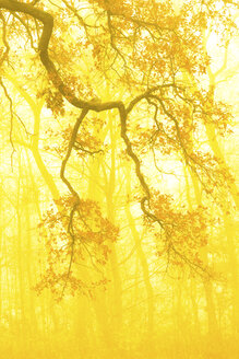 Germany, Bavaria, autumn forest, morning mist, yellow - FC000591