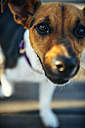 Jack Russell Terrier looking to camera - EHF000055