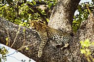 Botswana, Okavango Delta, Leopard in tree - HHF004997