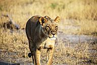 Botswana, Okavango Delta, lioness hunting - HHF004999