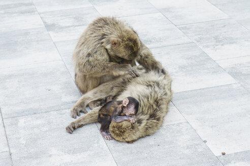 Gibraltar, cuddling and delousing monkey family - FLF000732