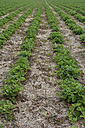 Germany, Bavaria, Riem, strawberry field - AXF000735