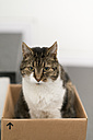 Tabby cat inside cardboard box - HLF000829