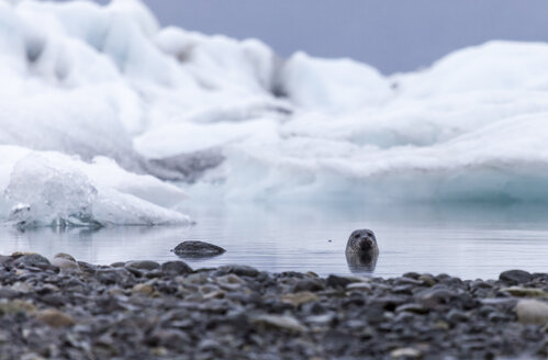 Iceland, Jokurlsarlon, Glacier lake, seal - ATAF000087