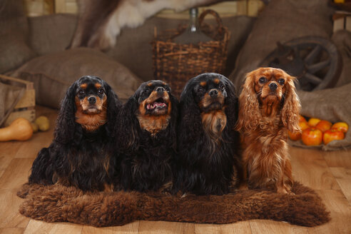 Cavalier King Charles Spaniel, group, black-and-tan and ruby - HTF000613
