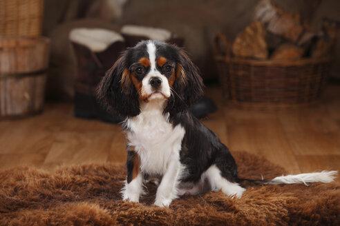 Cavalier King Charles Spaniel, puppy, tricolour, puppy - HTF000616