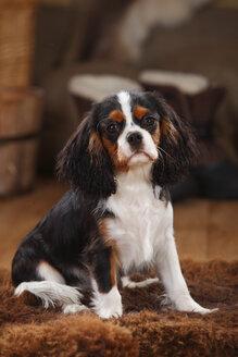 Cavalier King Charles Spaniel, puppy, tricolour, puppy - HTF000618