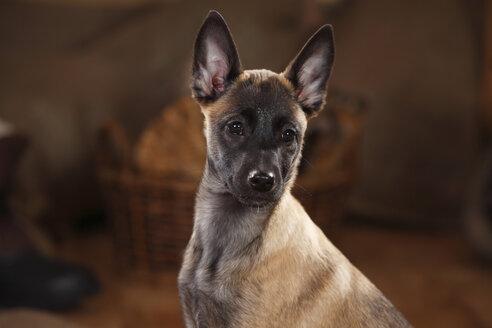 Belgian Malinois, puppy, portait - HTF000640