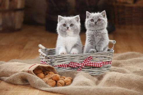 British Shorthair Cat, kittens, in basket - HTF000646