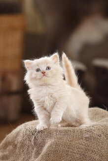 British Longhair Cat, kitten, cream, standing on jute - HTF000648