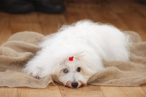 Coton de Tulear, bitch, lying on jute - HTF000650
