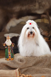 Coton de Tulear, bitch, with Santa Claus figurine - HTF000655