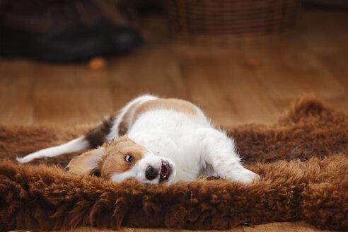 Kooikerhondje puppy rolling around on sheepskin - HTF000664