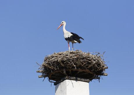 Austria, Burgenland, Apetlon, white stork, Ciconia ciconia, standing on nest - SIEF006346