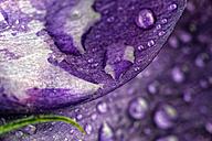 Waterdrops on petal of lisianthus flower, Eustoma - MJOF000919