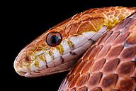 Portrait of corn snake, Pantherophis guttatus, in front of black background - MJOF000920