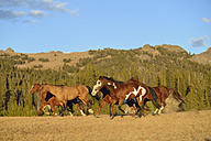 USA, Wyoming, running feral horses - RUEF001395