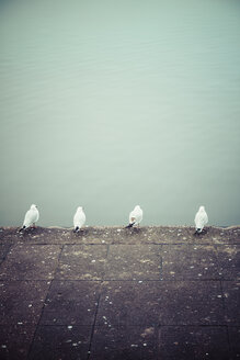 Row of four seagulls in front of water - KRPF001170