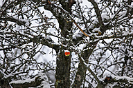 Germany, apple hanging on apple tree in winter - JTF000608