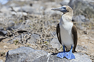 Ecuador, Galapagos Islands, Espanola, Punta Suarez, blue-footed booby - FOF007342